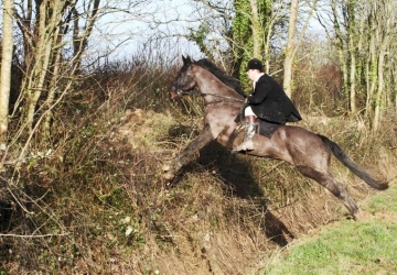 16.2 ISH Bay gelding safe experienced hunter 10 yrs
